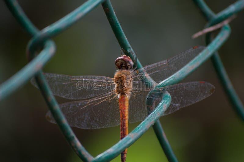 Dragon Fly stock fotografie