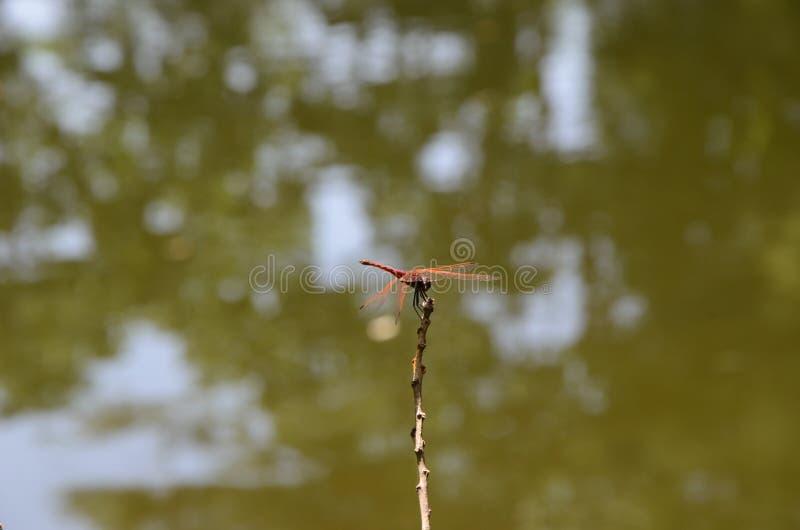 Dragon Fly royalty-vrije stock foto's
