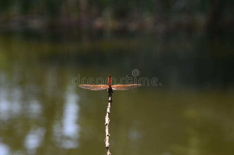 Dragon Fly royalty-vrije stock afbeeldingen