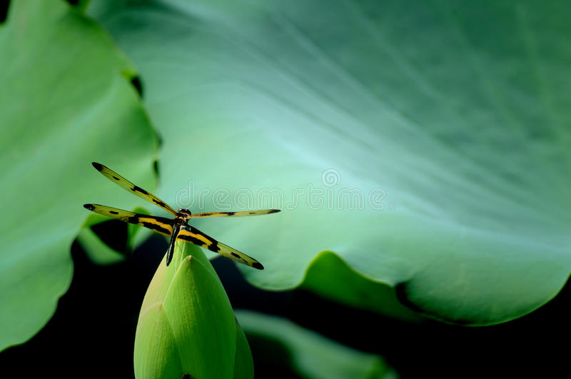 Dragon Fly fotografia stock