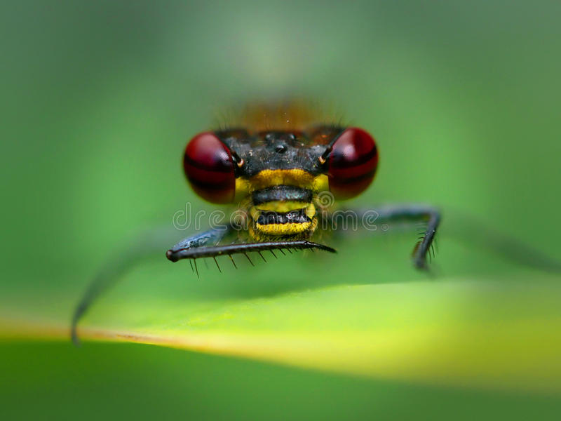 Dragon Fly fotografie stock libere da diritti