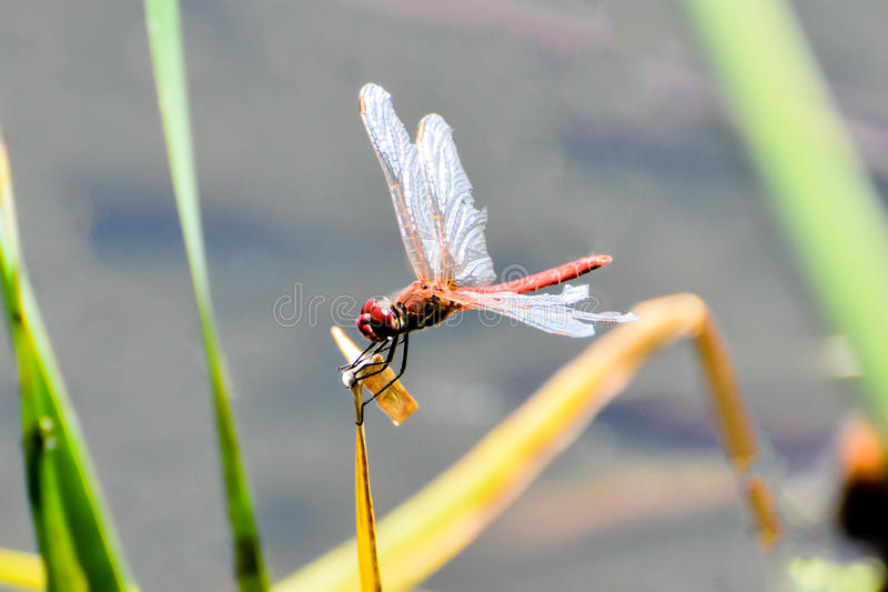 Dragon Fly royalty-vrije stock fotografie
