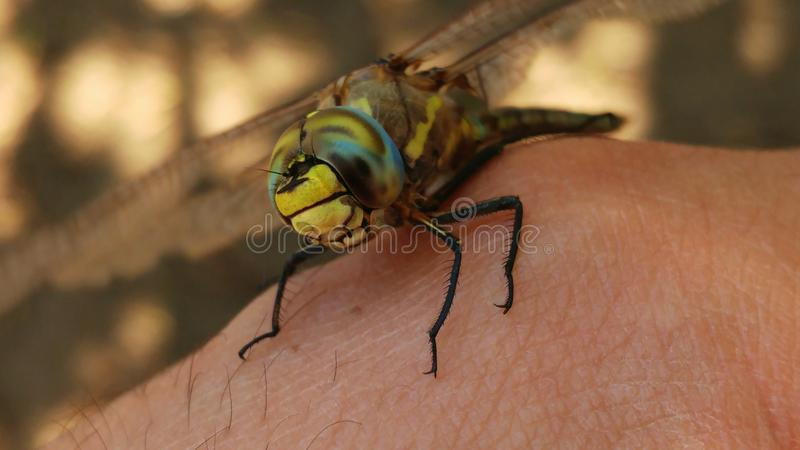 Dragon Fly lizenzfreies stockbild