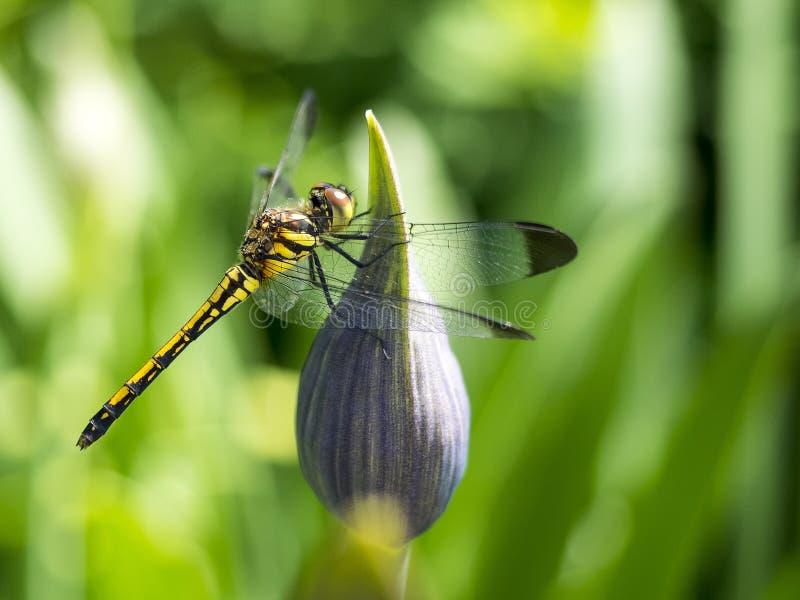 Dragon Fly stockbild