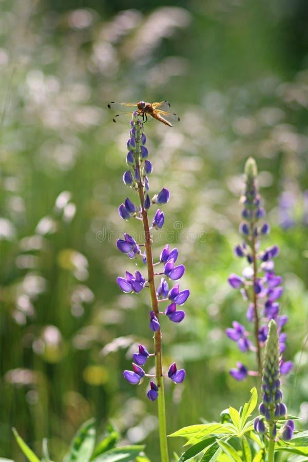 Dragon Fly auf dem Lupine blüht (Lupinus polyphyllus) stockfotografie