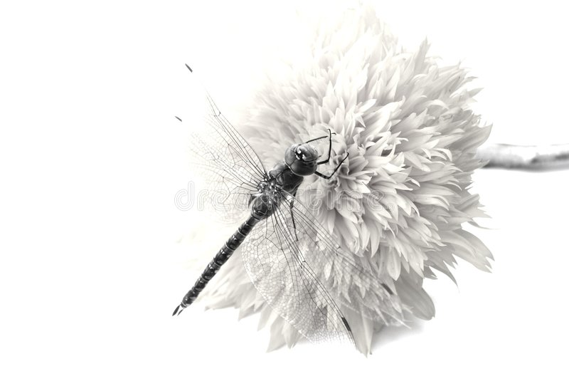 Dragon fly b/w royalty free stock image