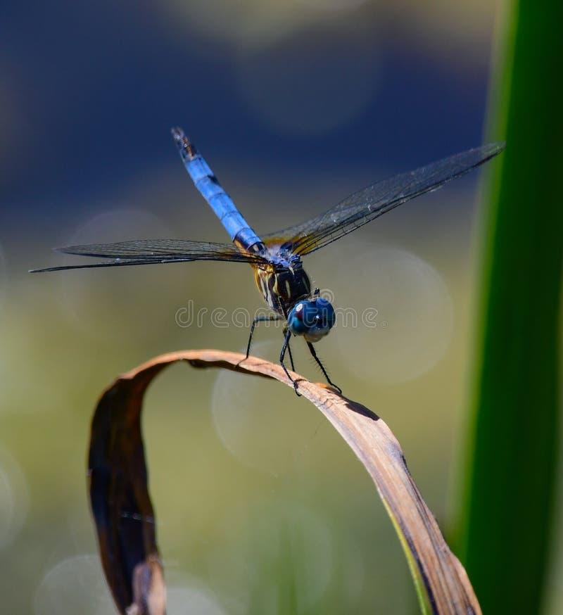 Dragon Fly Close azul encima de 2 fotografía de archivo