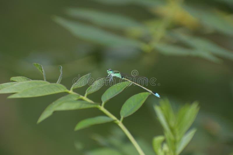 Dragon Fly dans la feuille verte photos libres de droits