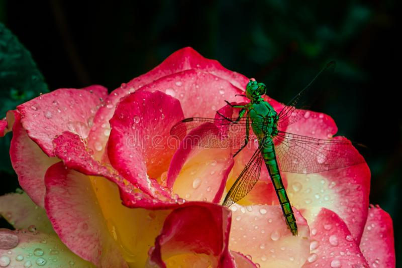 Dragon fly drinking a bead of water stock photo