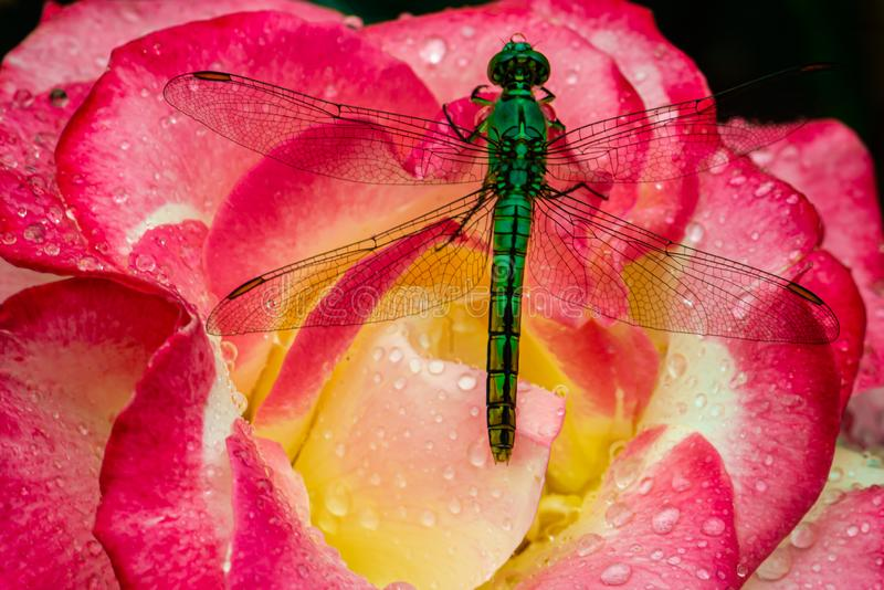 Dragon fly drinking a bead of water stock photography