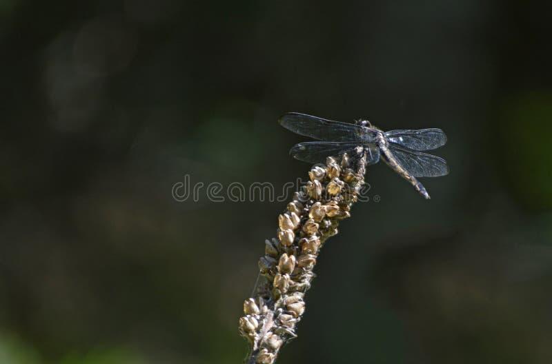 Dragon Fly en una planta fotos de archivo libres de regalías