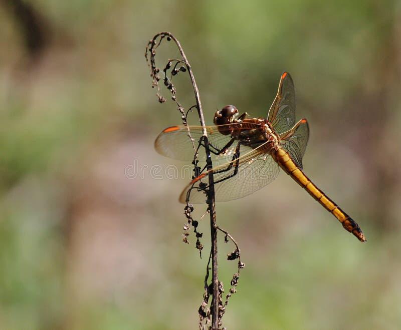 Dragon Fly Florida stock image
