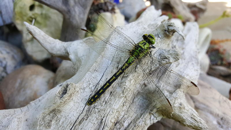 Dragon Fly royalty free stock photography