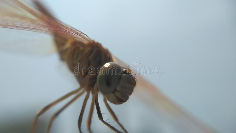 dragon fly is an insect with colorfull wings stock photography
