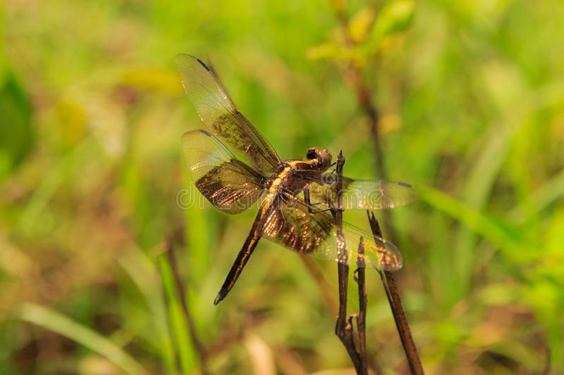 Dragon Fly. A Dragon Fly that landed near me while in search of wildlife at Bald Knob Wildlife Refuge Located in Bald Knob, Arkansas 2017 royalty free stock images