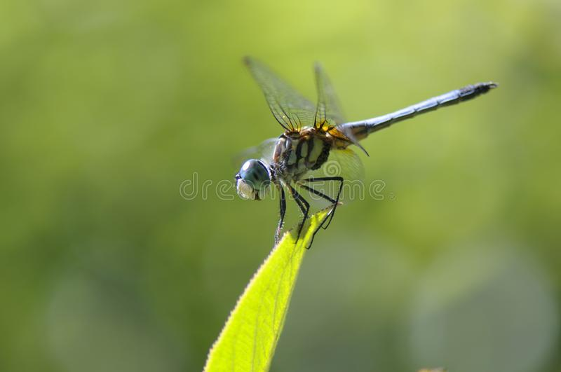 Download Dragon-fly on a leaf stock image. Image of closeup, dragonfly - 7703623