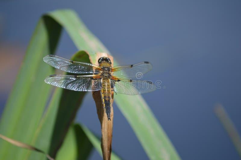 Dragon Fly on leaf stock photos