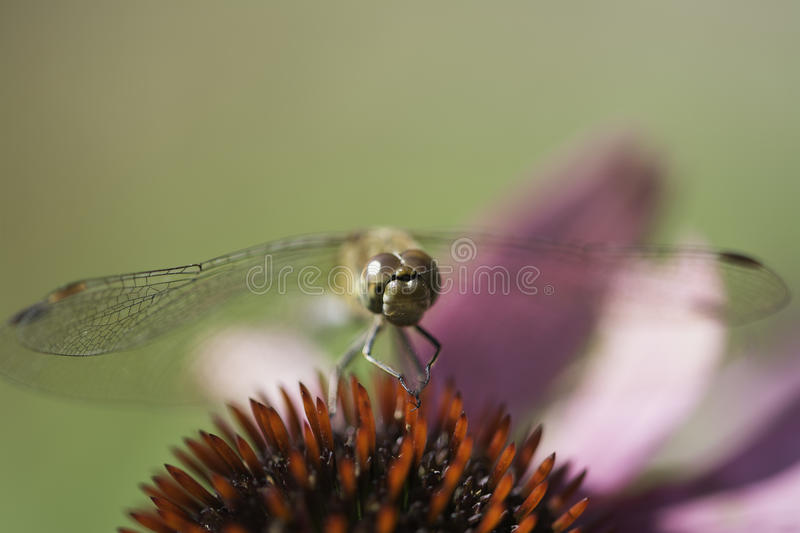 Dragon Fly Macro royaltyfria bilder