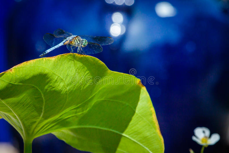 Dragon Fly op Lily Pad royalty-vrije stock afbeelding