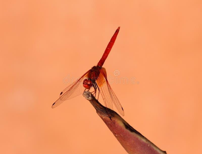 Dragon Fly orange intelligent photo stock