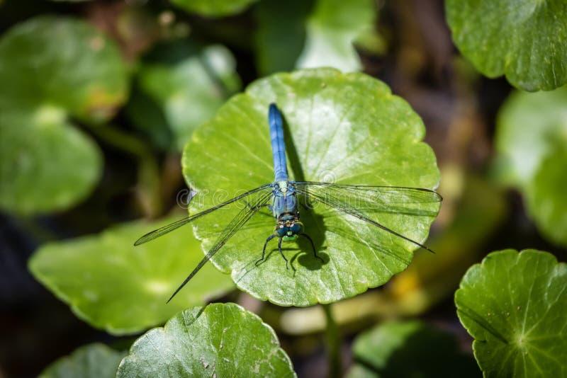 Dragon Fly Resting colorato blu su Lily Pad fotografie stock libere da diritti