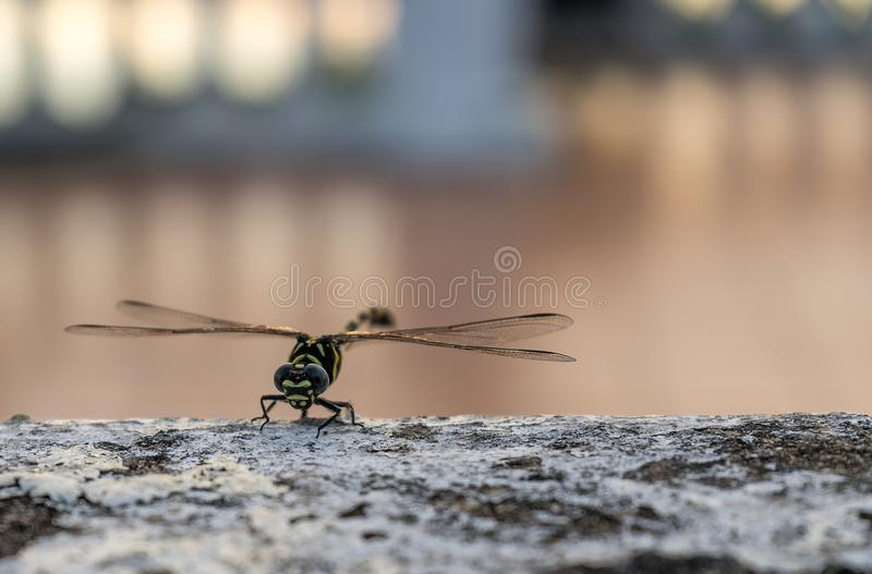 Dragon Fly on a rock stock photography
