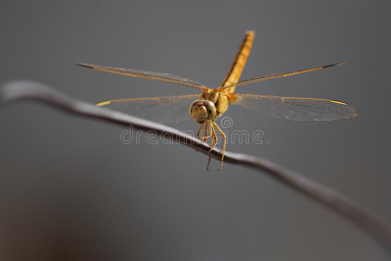 Dragon fly smile stock photography
