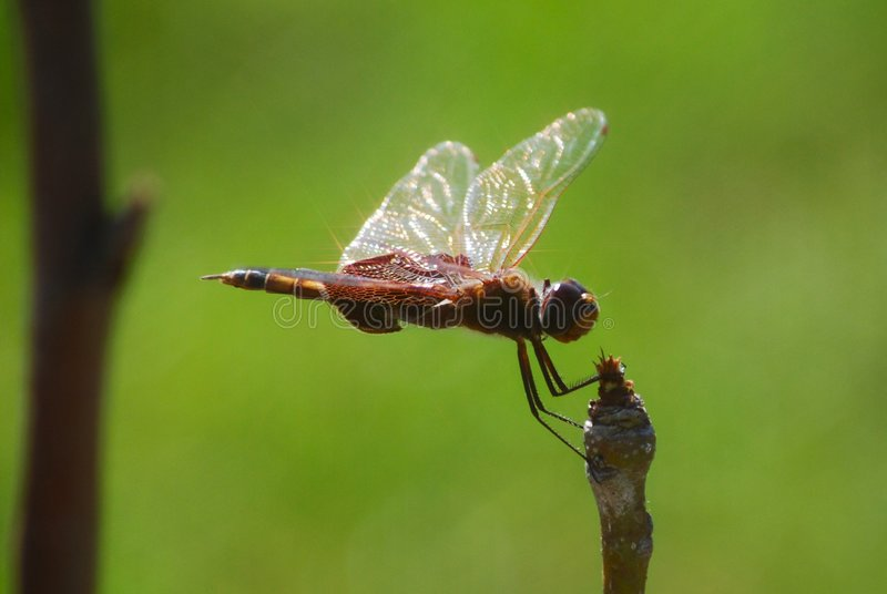 Download Dragon Fly with Sunbursts stock photo. Image of flares - 5147956