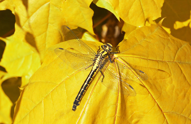 Download Dragon Fly  On A Yellow Maple Leaf Stock Photo - Image: 14571902