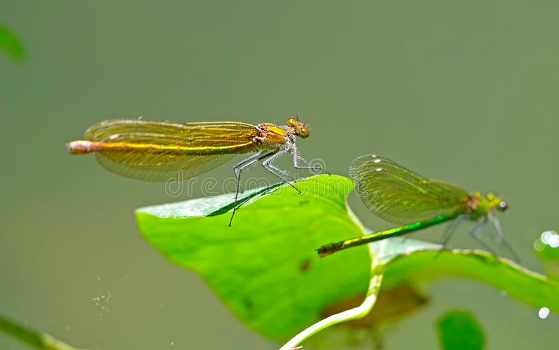 Dragon-flys sits on a tree royalty free stock photo