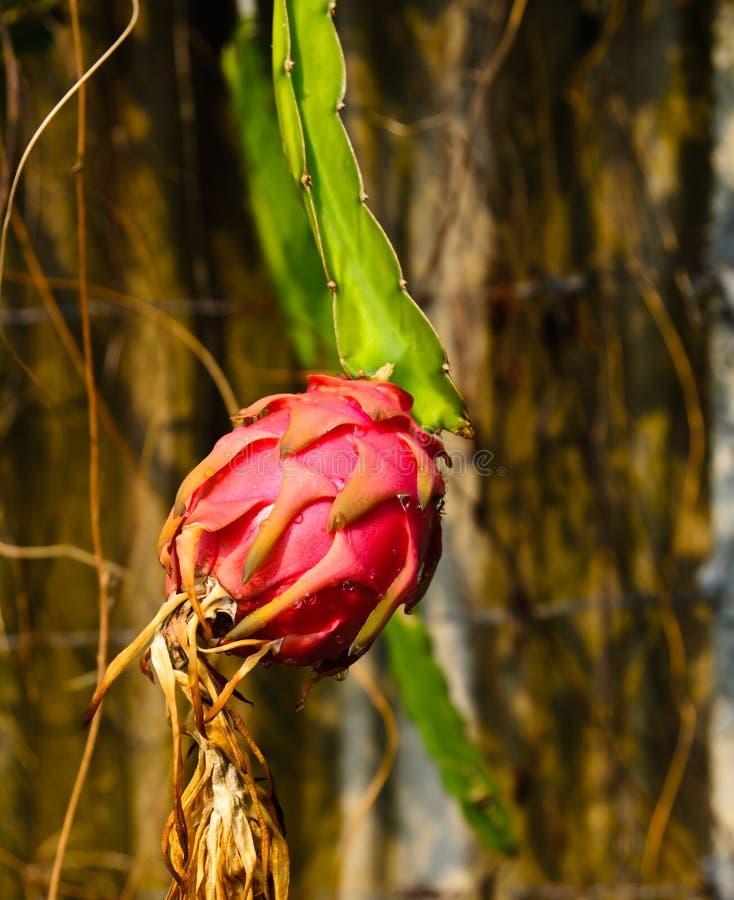 Download Dragon fruit stock photo. Image of grow, background, dragonfruit - 26616180