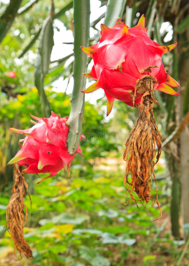 Download Dragon fruit stock image. Image of climber, material - 26652845