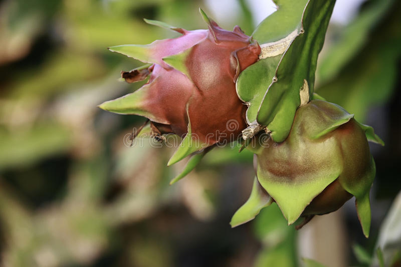Dragon Fruit imagens de stock royalty free
