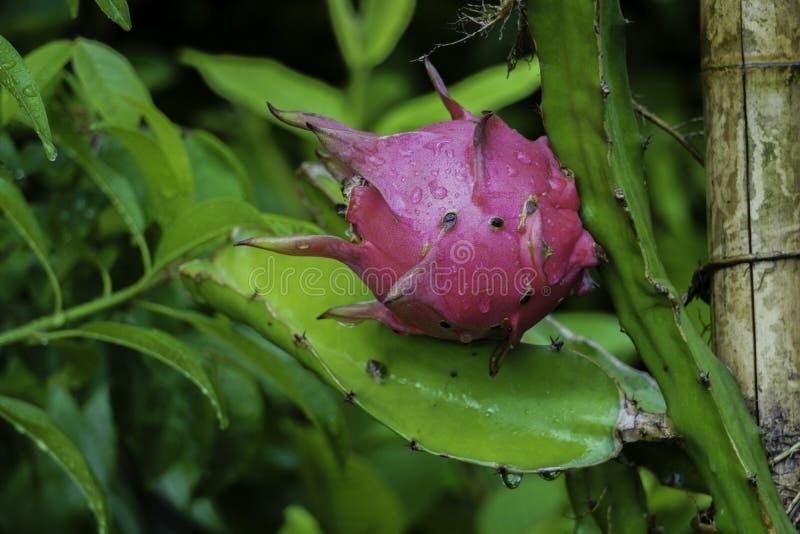 Dragon Fruit Cactuses - Snelgroeiende Bomen royalty-vrije stock fotografie