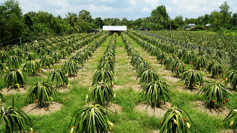 Dragon fruit gardens are flower and fruit stock image