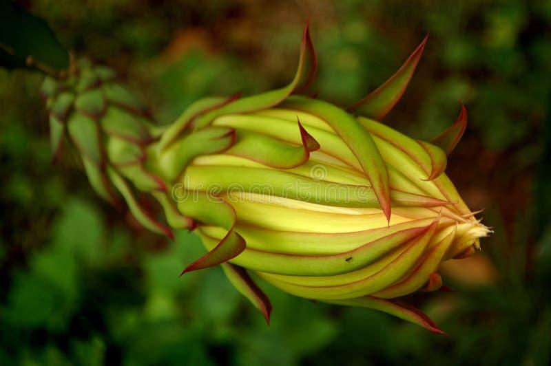 Dragon Fruit Flower Close upp royaltyfri fotografi