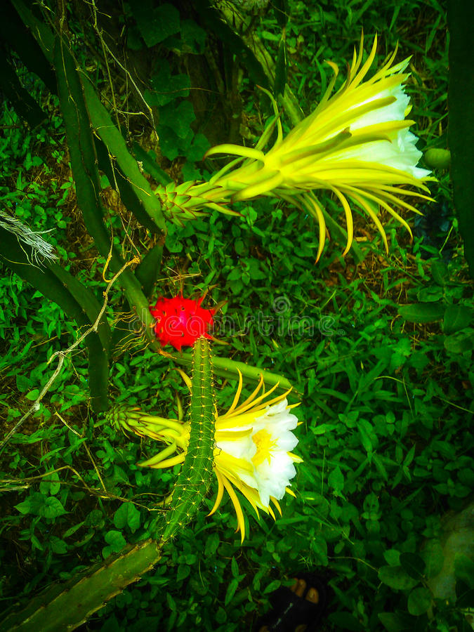 Dragon fruit flower. The dragon fruit flowers are going to open on the morning only and use 1-2 Hrs on open only. Nature beauty to create what we have always royalty free stock image