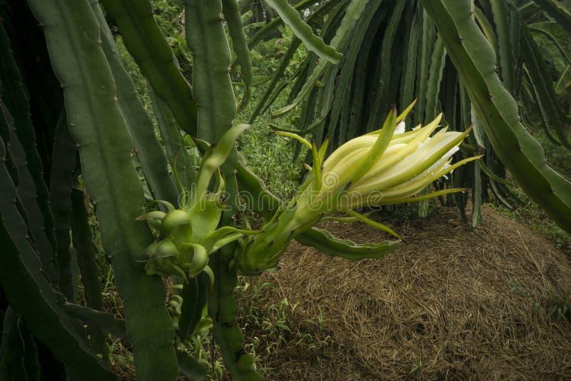 Dragon Fruit Literally Blooms i Vietnam arkivbild