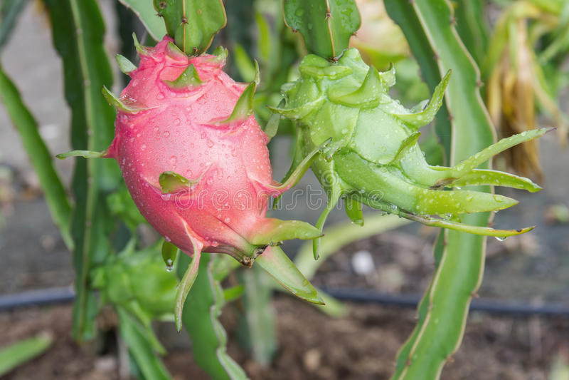 Dragon fruit,Pitaya on tree. In garden royalty free stock photos