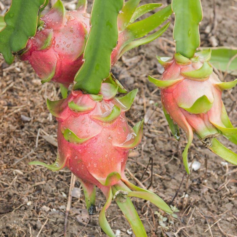 Dragon fruit,Pitaya on tree. In garden stock images