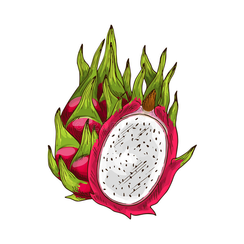 Dragon fruit sketch with pink pitaya stock illustration