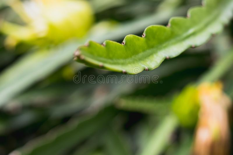 Dragon fruit tree on climber planting nature background. Dragon fruit tree on  climber planting   nature  background royalty free stock images