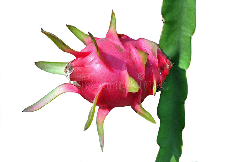 Dragon fruit royalty free illustration