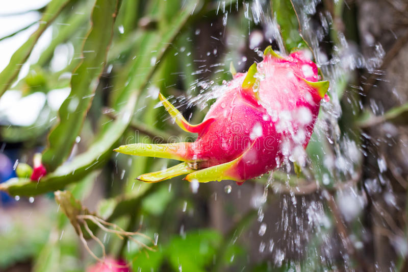 Dragon Fruit on the tree. royalty free stock images