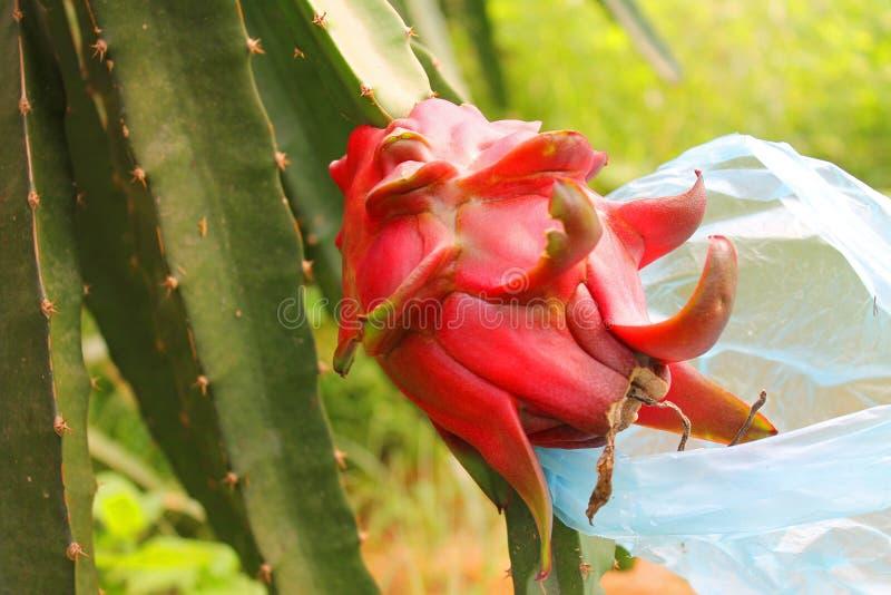 Dragon fruit royalty free stock photos