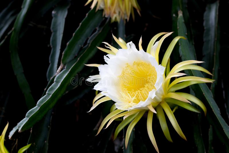Dragon fruits flora blooming on climber planting  floral  nature  background stock images