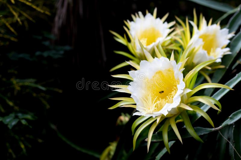 Dragon fruits flora blooming on climber planting  floral  nature  background stock photos