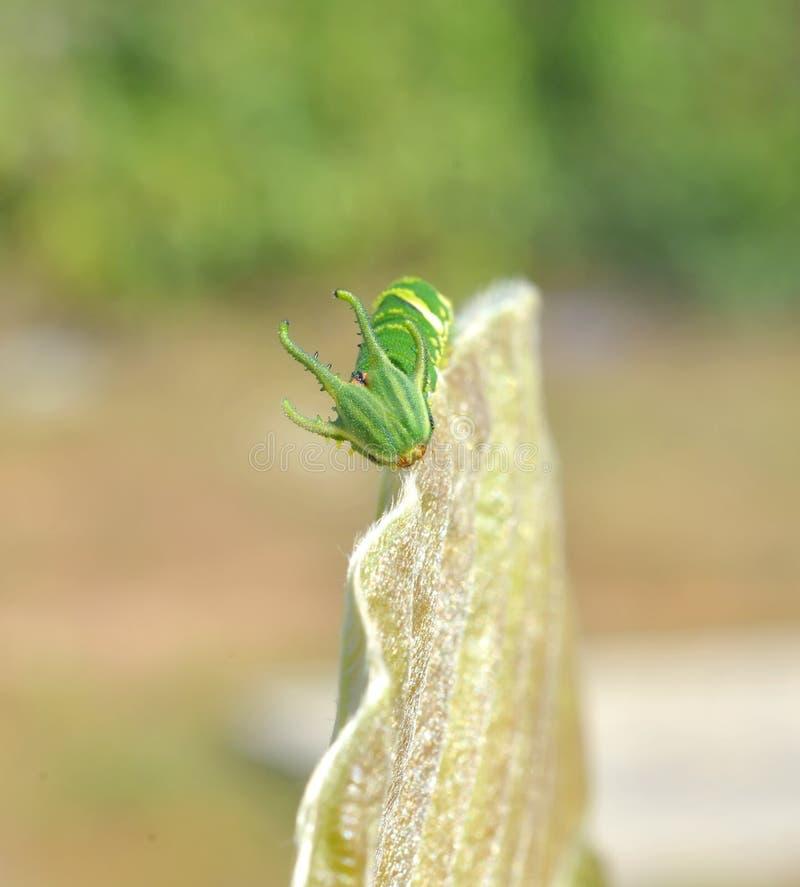 Dragon Headed Caterpillar fotografie stock