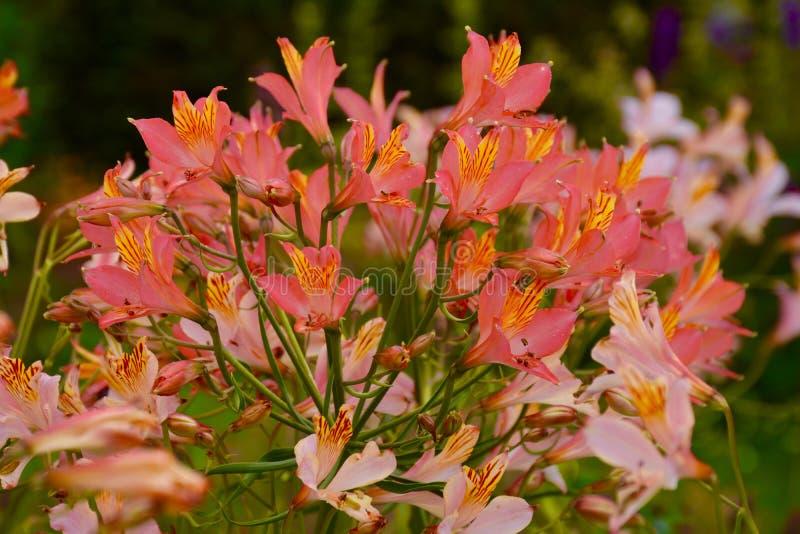 Dragon Lillies nell'abbazia di Buckfast fotografia stock