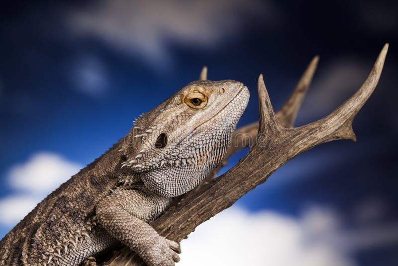 Dragon lizard stock photography